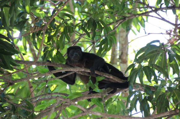 A howler monkey in the trees at a truckstop on the Pan-American highway to Liberia.