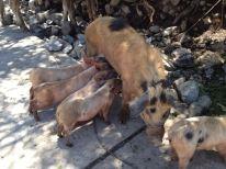 Good mama pig!