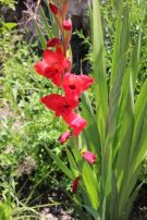 gladiola-- My dad always brought these to my mom.
