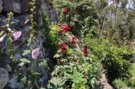 hollyhocks-- make me think of Santa Fe or Gustave Baumann
