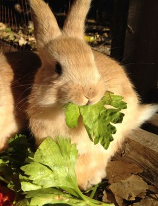 Celery leaf and Aslan or Flopsy or Goldie or Chaska. I can't tell the bunnies apart.