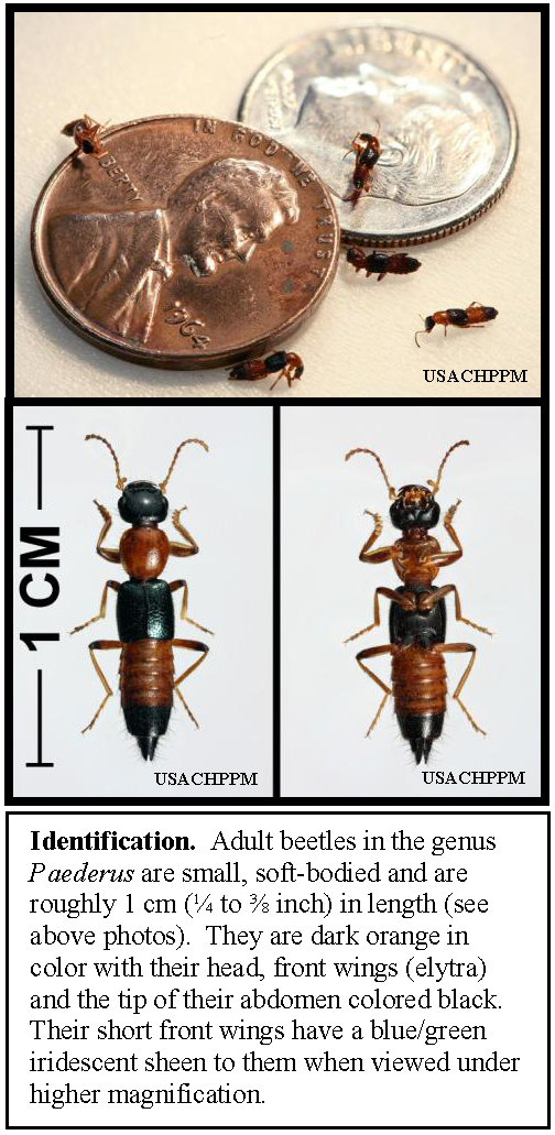 Paederus_rove_beetles,_showing_size